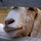 Goat_Avenger's picture