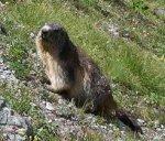 Alpine_Marmot.jpg