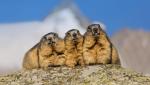 Marmottas.png