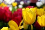 sezgin_tulip.jpg